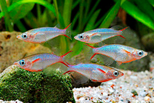 Оризис Вовора (рисовая рыбка)